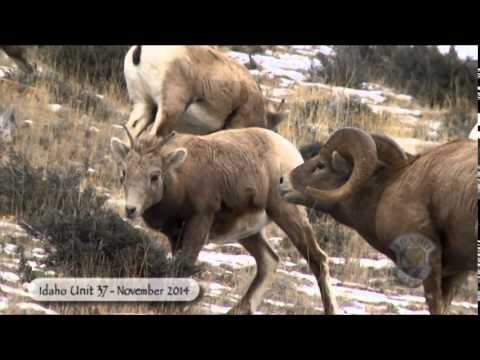Idaho's Bighorn Sheep