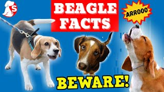 DO NOT GET A BEAGLE before you watch this. | This MIGHT change your mind.