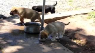 Labrador Retriever Mix Puppies For Sale