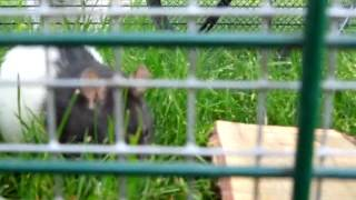 Rat, Guinea Pig, And Pomeranian Part 3