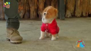 Pomeranian Boo eğitimleri, temel ve ileri itaat eğitimleri