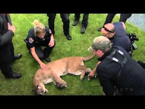 Cougar in Victoria BC
