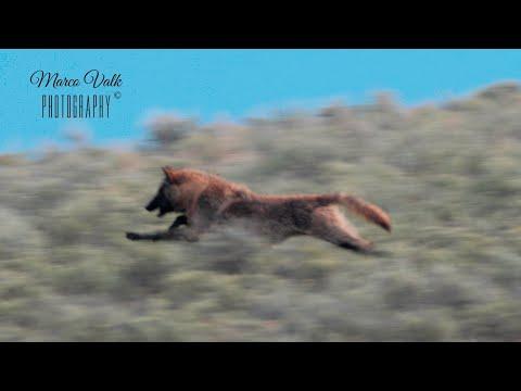 YELLOWSTONE Bears vs wolves