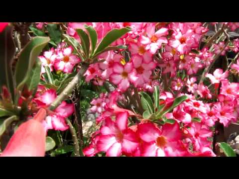 adenium obesum desert rose april 25 2009