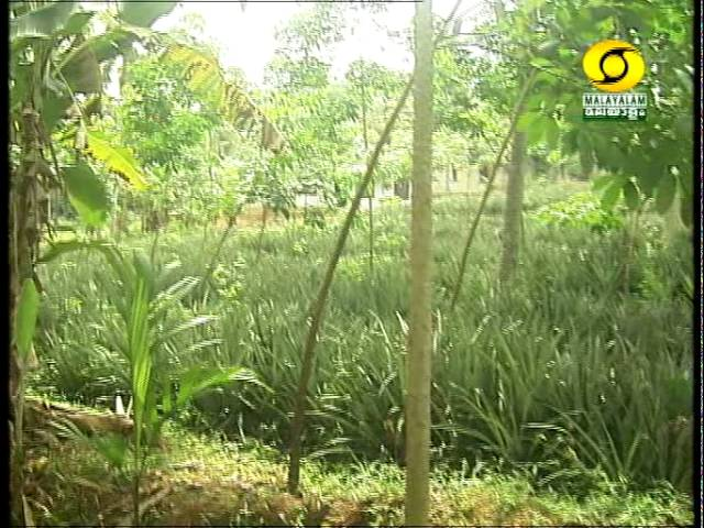 Pineapple Cultivation at Trivandrum