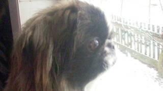 пекинес смотрит в окно