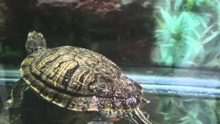 Red Eared Slider Mating Dance Mr Turtle Nail Fluttering.