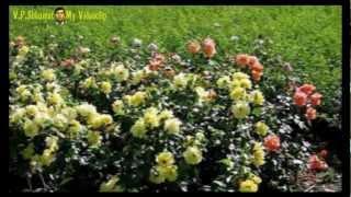 Троянди на садибі та їх сорти