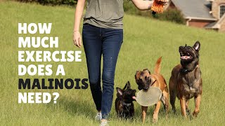How much exercise does a malinois need