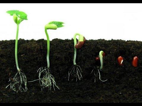 Корень растения и его строение. Что такое корневая система?