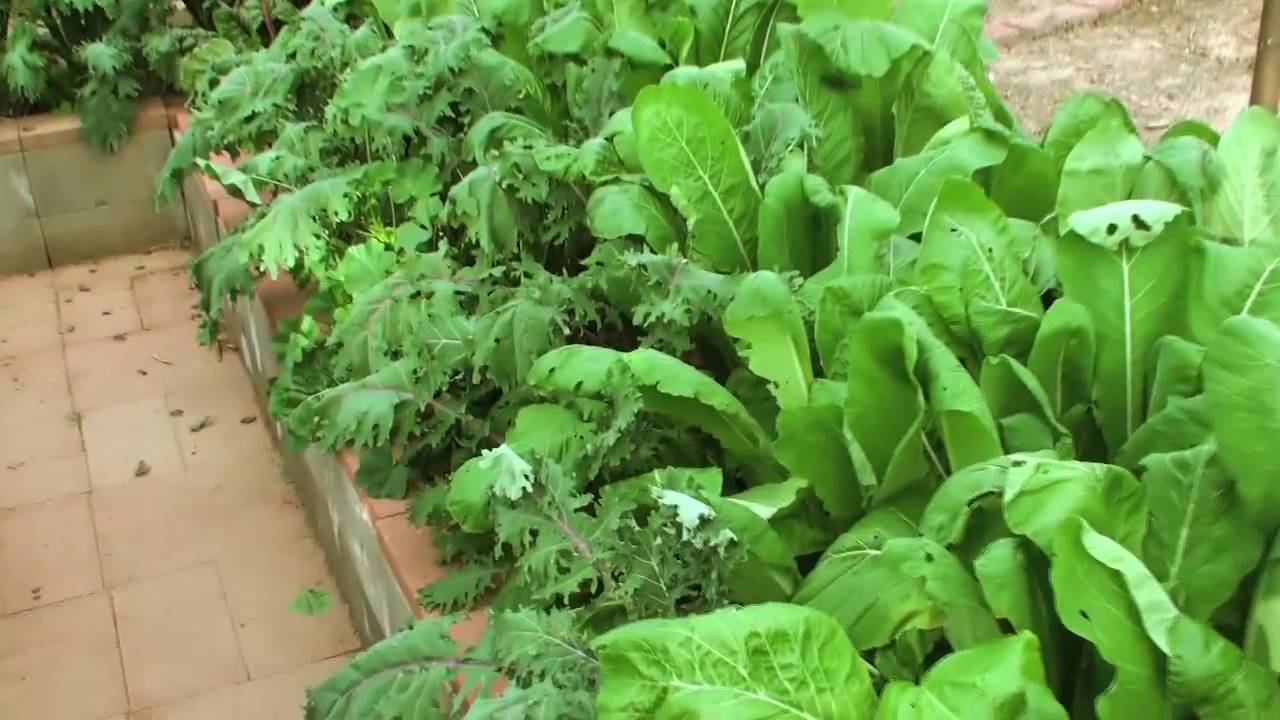 winter vegetable garden in phoenix 12 22 10 youtube