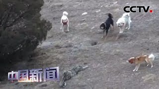 [中国新闻] 青海玉树:牧民拍摄到雪豹与牧犬对峙画面 | CCTV中文国际