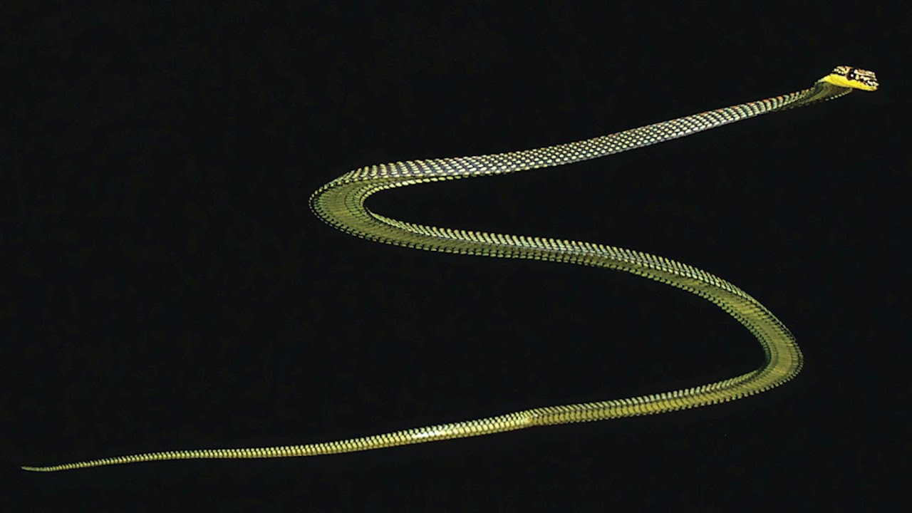 Study reveals how flying snakes glide through air