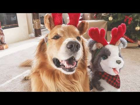 Golden Retriever vs Husky Puppy Christmas Challenge   Oshies World