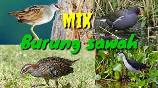 Mix Burung Sawah Malam Cocok Untuk Suara