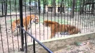 Video Tiger Cage Fight download MP3, 3GP, MP4, WEBM, AVI, FLV Januari 2018