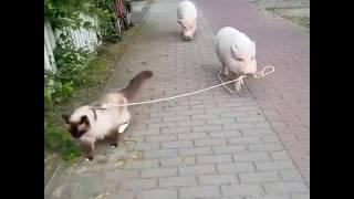 Pig walking a cat