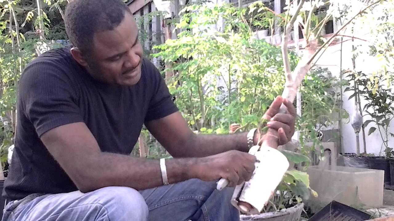 cultivation of moringa oleifera pdf