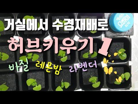 허브 바질 레몬밤 라벤더 수경재배로 거실에서 키워요^^~#1#베란다텃밭 #수겡재배 #허브키우기