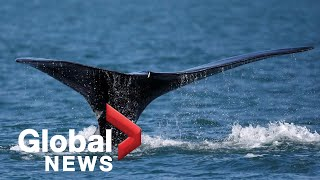 The push to protect North Atlantic right whales