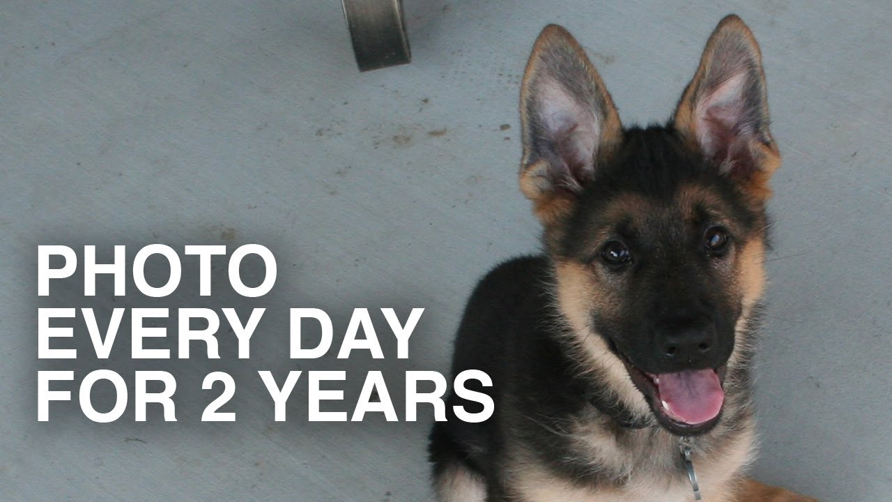 Photo Every Day For 2 Years Dunder The German Shepherd