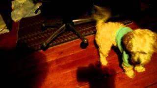 Sunny the Dancing Terri-Poo