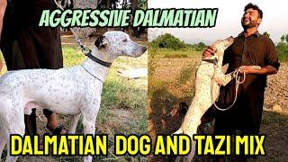 Dalmatian Dog and Tazi Mix | Dalmatian and Irani Tazi Dog Breed | Dalmatian as Guard Dog