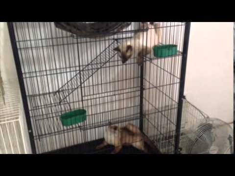Tanda Tanda Kucing Siam Mau Kawin Youtube