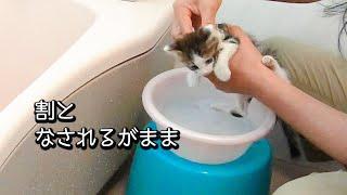 洗面器のお風呂で汚れを落とす子猫(トワ君、初めてのお風呂)