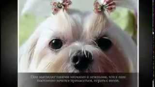 Маленькие породы собак МАЛЬТИЙСКАЯ БОЛОНКА