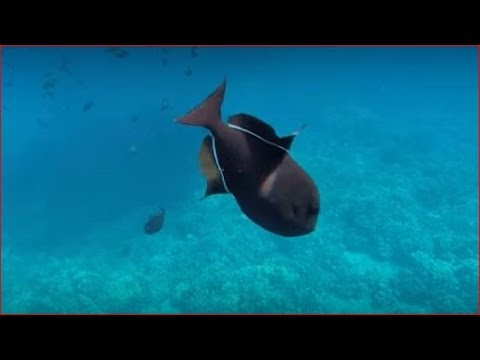 Black Durgon Triggerfish - Molokini Crater, Maui, Hawaii