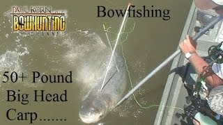 Bowfishing 50 # big head carp on Missouri River