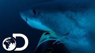 Deep Blue Hunts For Elephant Seals | Jaws Strikes Back