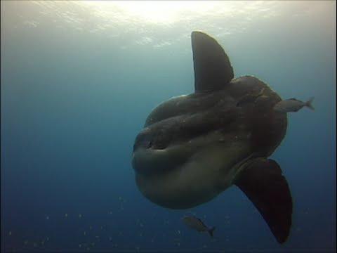 Diving With Giant Sun Fish (Mola Mola) In Azores - Ponta Delgada