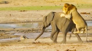 Lone Lion Takes on Young Elephant