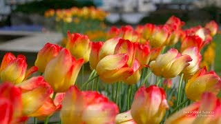 Tulipes and flowers at lake Zürich. All pictures, sounds, music by:...