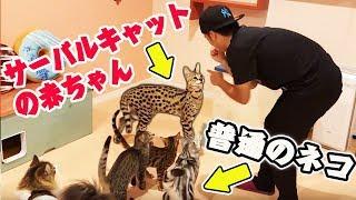 【日本初】超かわいいサーバルキャットに会える猫カフェに行って来た!沖縄