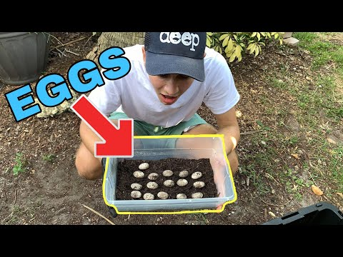 My PET LIZARD LAID EGGS !! NOW WHAT?!