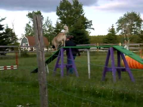 Anatolian Shepherd Dog 'Neya' doing Agility