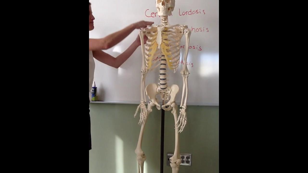 Skeletal System Bones Of Axial Skeleton Spine Rib Cage Youtube