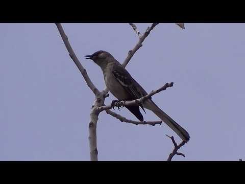 Northern Mockingbird singing beautifully #birds #songbirds #birding #birdwatching