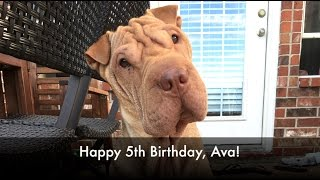Happy 5th Birthday, Ava the Shar Pei!