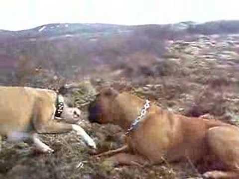 bullmastiff vs boxer