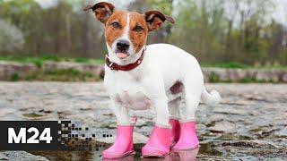 Обувь для собак. \Городской стандарт\ - Москва 24