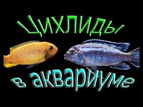 ЦИХЛИДЫ  - самые удивительные и заботливые аквариумные рыбки !!