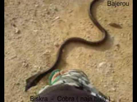Cobra ( naja haje )  de  Biskra - ALGERIE -