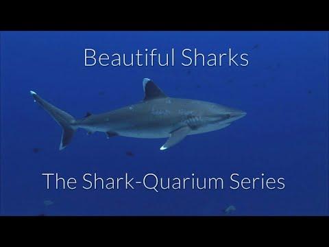 The Shark-Quarium - Silvertip Sharks - Carcharhinus albimarginatus