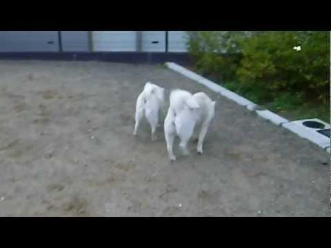 2012_04_01_北海道犬の母娘・御在所SAドッグランにて.AVI