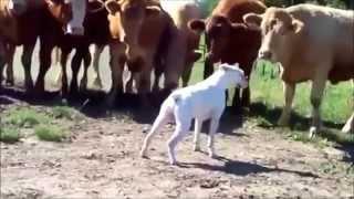 Коровам понравился собака боксер
