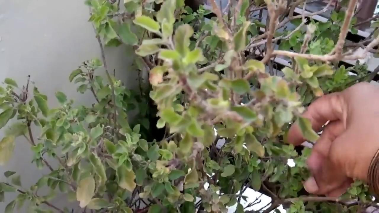 सर्दियों में ऐसे करें तुलसी की देखभाल,how to save tulsi plant from dying in winter #Herbalmedicine